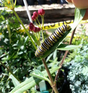 Monarch caterpillar eating milkweed, getting ready to form chrysalis