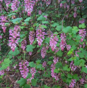 ribes-sanguineum-pink-flowering-currant