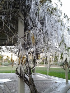Dec-9-13 cold snap on wisteria arbor